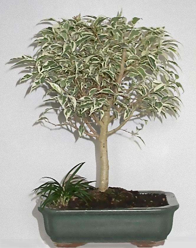 Ficus Hawa 239 15 Ans D Age