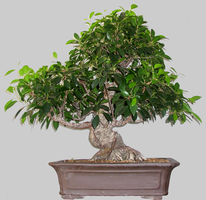taille d un bonsai ficus. Black Bedroom Furniture Sets. Home Design Ideas